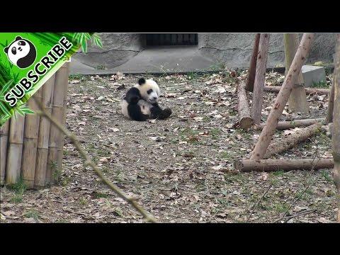 【Panda Top3】A panda rolling ball is coming to you