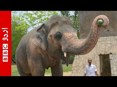 Pakistan Agrees to Free Lonely Elephant Who Spent Years in Chains After Singer Cher Helps