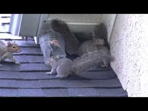 Attic Kings Remove Squirrels In Atlanta Ga Youtube