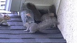 Attic kings remove squirrels in Atlanta Ga
