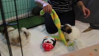 Coton de Tulear Puppies For Sale - Vivian 2/11/21