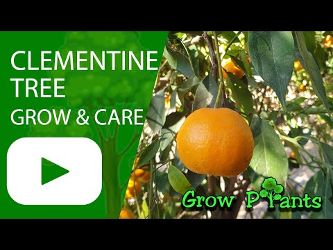 Clementine Tree - Grow, Care & Harvest (Eat A Lot Of Clementines)