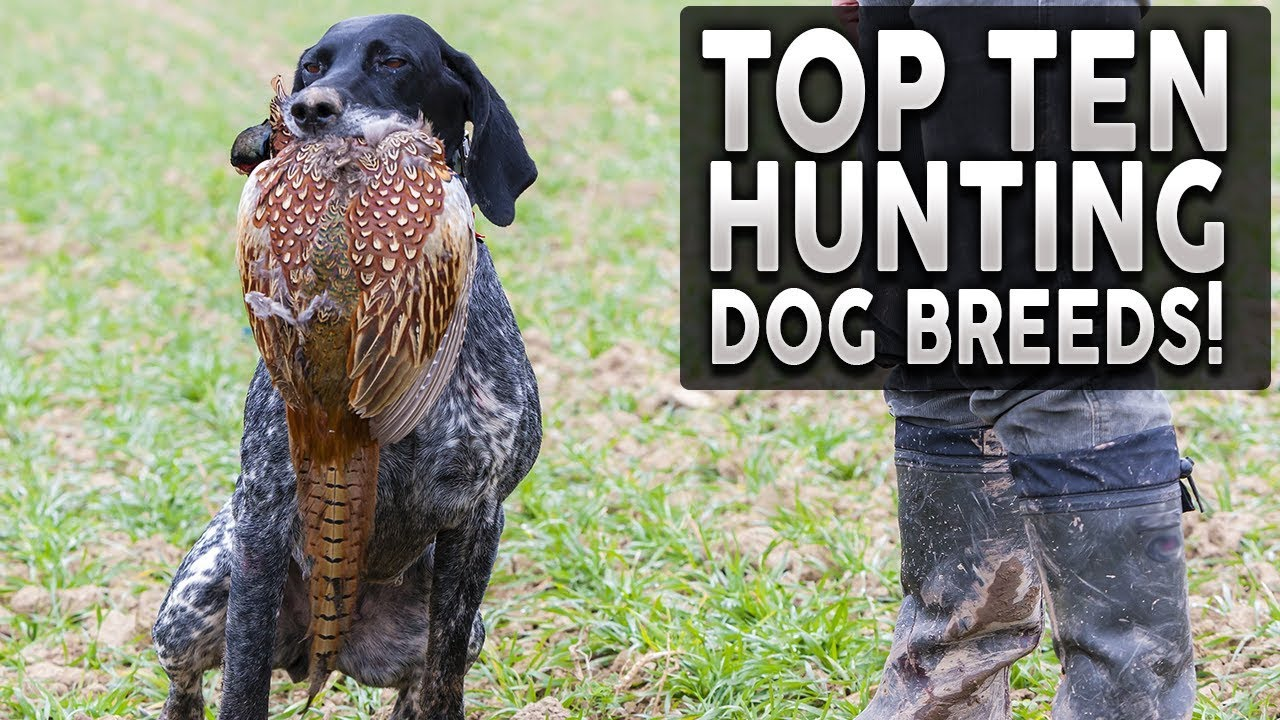 Top 10 Best Hunting Dog Breeds You