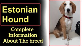 Estonian Hound. Pros and Cons, Price, How to choose, Facts, Care, History