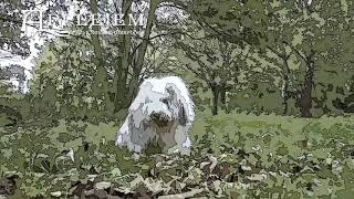 Applejem Old English Sheepdogs