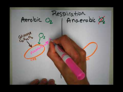 Aerobic vs. Anaerobic Respiration in Cells