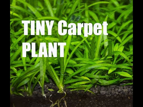 Best Beginner Carpeting Plant Crypt Parva Youtube