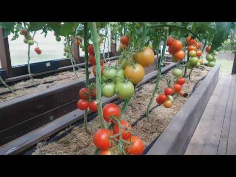 ОБЗОР СОРТА ТОМАТ ИНТУИЦИЯ. | формирование | интуиция | томатов | теплице | теплица | томаты | ствола | лучшие | сорта | обзор