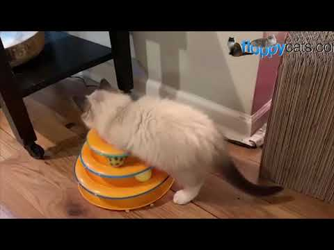 BlueDreamer Ragdoll Kittens - Ragdoll Breeder Kansas City, Missouri - Visit with a Litter of Kittens