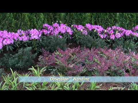 Obsession nandina youtube for Southern living login