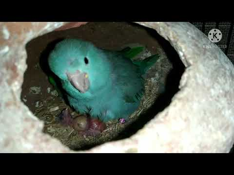 Pacific Parrotlet Breeding