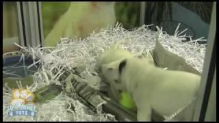 British Bulldog X Staffordshire Bull Terrier Puppies
