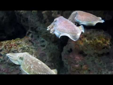 Sepia Pharaonis - Cuttlefish In Aquarium