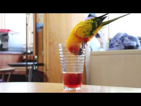Parrot Desperately Tries To Get Juice