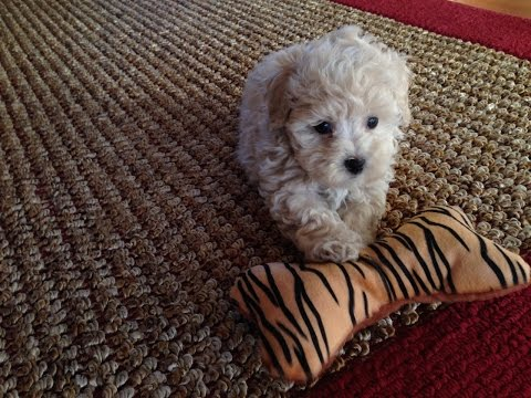 Adorable Maltipoo Pups For Sale In Ocala Florida - Michelines Pups