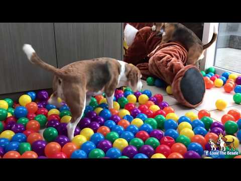 Dogs Surprised with 5000 balls and Toys. Cute Dogs Louie & Marie.