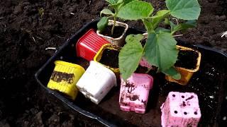 Выращивание арбуза и дыни в открытом грунте - Как вырастить арбузы и дыню