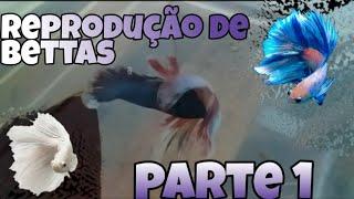 COMO FAZER REPRODUÇÃO DE BETTA TOP - DAVI AQUARISMO (PARTE 1)