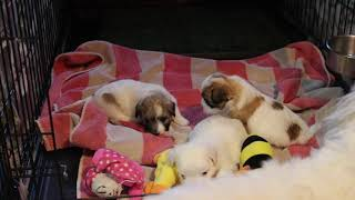 Coton de Tulear Puppies For Sale - Hannah 4/21/20