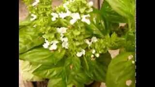 http://www.mathstrength.com- Busuioc -planta medicinala -Farmacia naturii