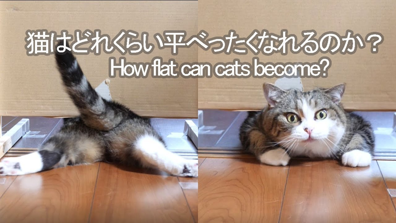 An Experiment to See How Flat a Cat Is Willing to Get In