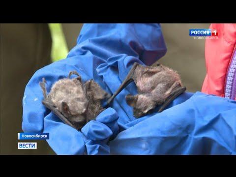 Советы новосибирских экспертов: что делать, если в дом впорхнула летучая мышь