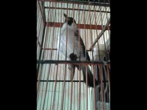 Burung kutilang juara terbaik dunia