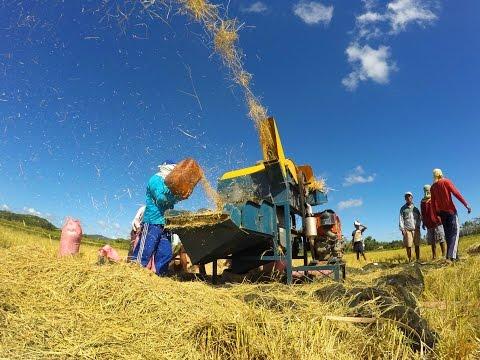 Pangabuhi sa Uma | Golden Harvest sa Guimaras