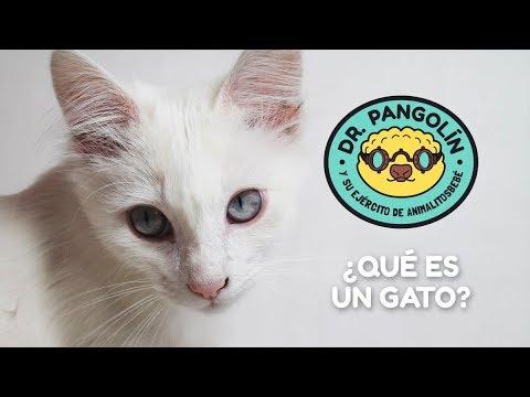 ¿Qué es un gato? - Dr. Pangolín y su Ejército de Animalitosbebé