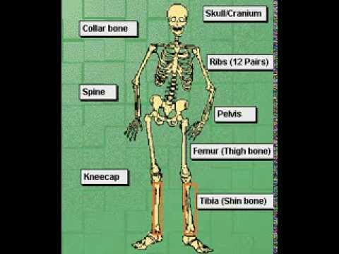how to make a human skeleton for school project