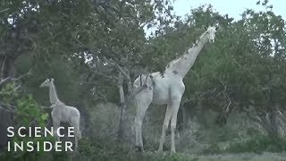 What White Giraffes Look Like
