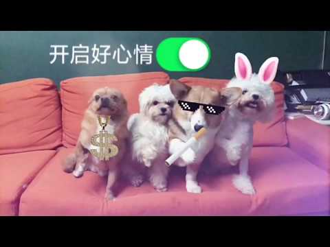Funny Daily Chubby Corgi Dogs Cute Puppies 2019 Compilation 猫狗蠢萌合集 | Too Cute EP31