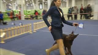 Всероссийская выставка собак всех пород Кубок Валта 2018 Новосибирск 31 марта 2018 г