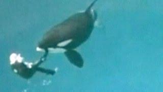 Überlebenskampf: Killerwal attackiert Trainer
