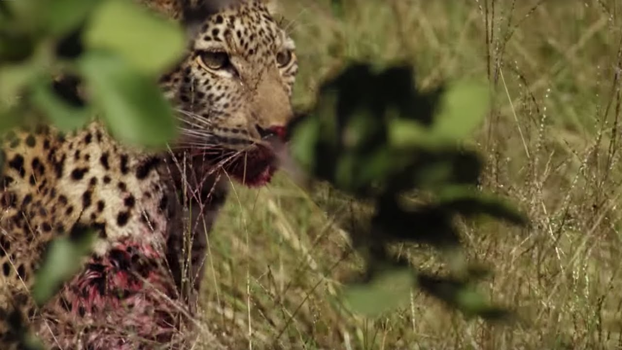 young leopard makes first