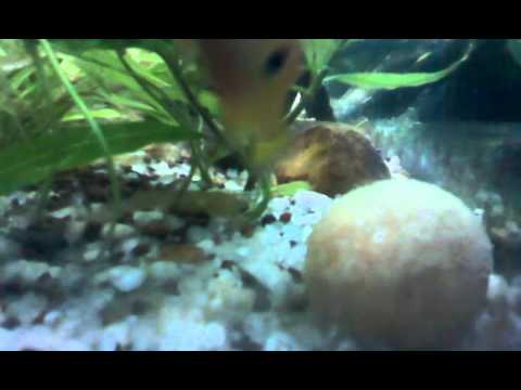 Red Jewel cichlids spawning in my planted aquarium