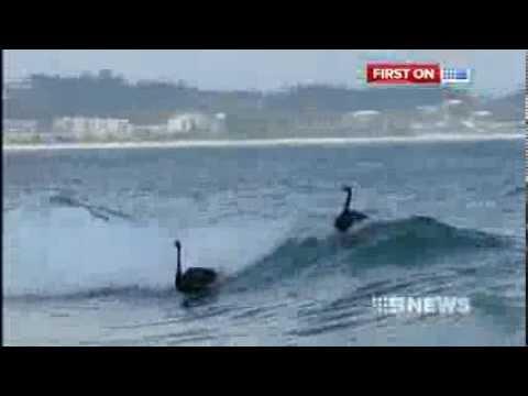 Black swans surfing on the Gold Coast QLD Australia