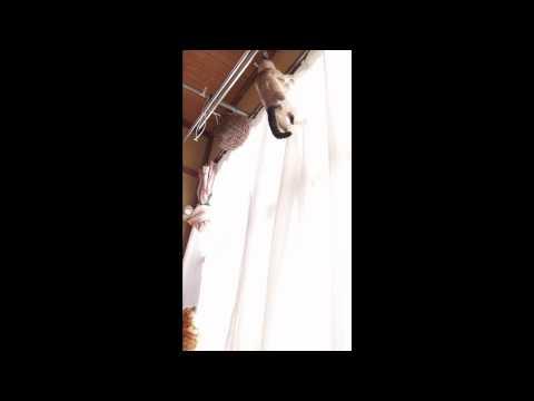 カーテン登り猫 Cat Curtain Climb