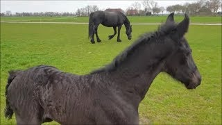 Cute filly Lieke first time in the field. What is that green stuff!? Friesian horse.