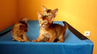 """Абиссинские котята из питомника """"Элегантная Дикарка"""""""
