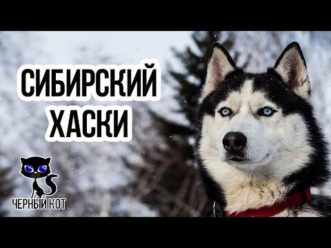 Вопрос: Почему у породы собак Хаски разные глаза. Чем обусловлено?