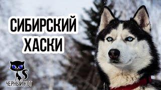 Хаски / Интересные факты о собаках