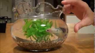 ベタ(闘魚)の水槽を大きな金魚鉢にして元気になった様子 thumbnail