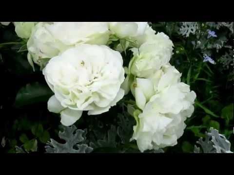 White roses in my garden   Белые розы моего сада