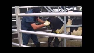 Freeze Branding Dairy Cattle - Technician service