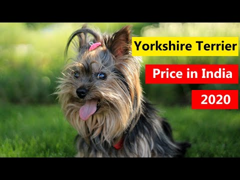 Yorkshire Terrier Puppy Price in India 2020 in Hindi