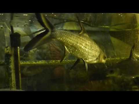 Bala Sharks Feeding Activity