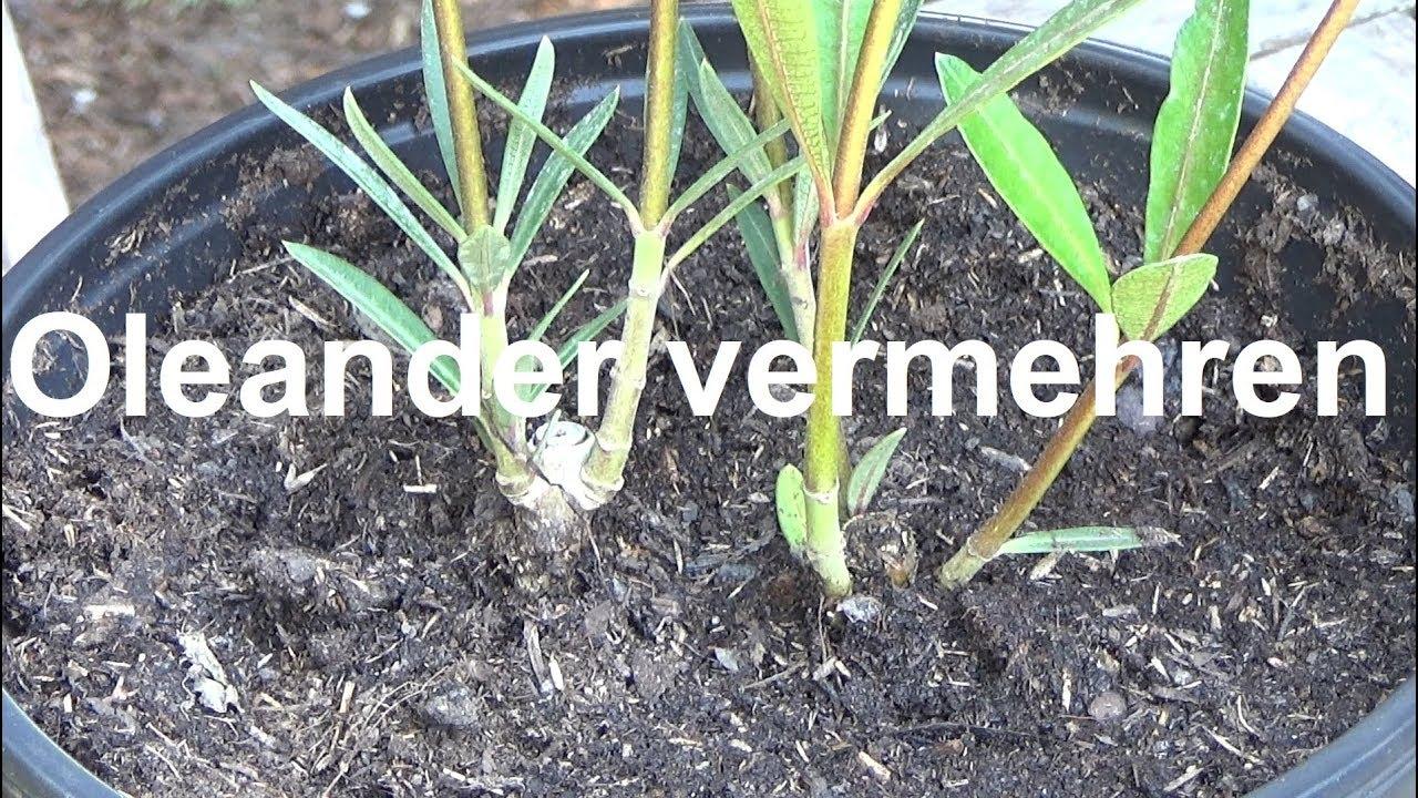 oleander vermehren stecklinge ziehen oleander ableger machen oleander steckling nerium selber