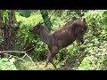 Sambar Deer with a broken leg taken away for treatments