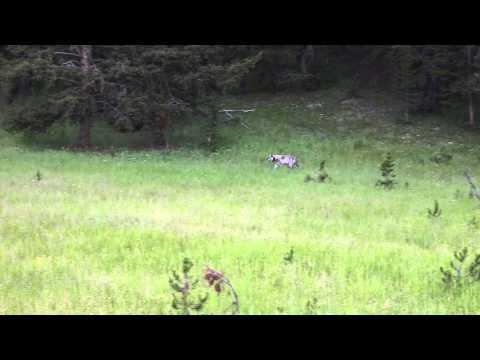 RARE YELLOWSTONE WOLF SIGHTING! | Bombshell Wife Life